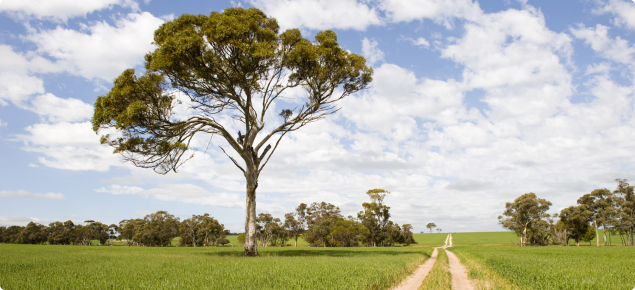 Wheat paddock with track and tree.