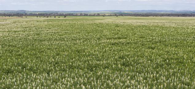 Lupin crop