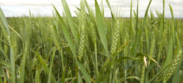 Wheat heads in paddock