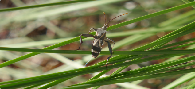 Macro shot of flat and wide insect on sparse grass