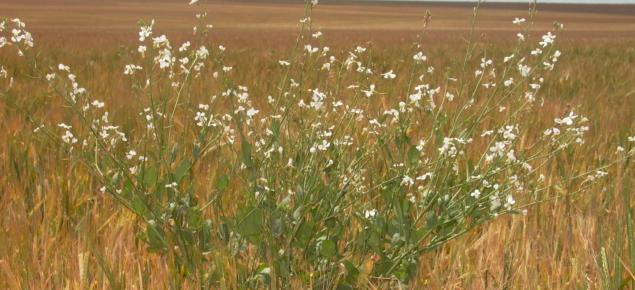 Wild radish in a wheat crop