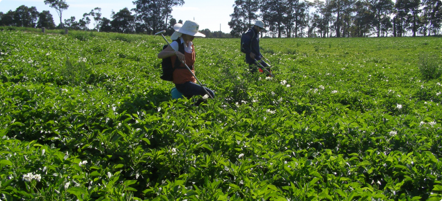 Surveying potato crops for Potato Cyst Nematode (PCN) during the study to determine PCN area freedom.  DAFWA staff are walking across a potato paddock taking soil and tuber samples.