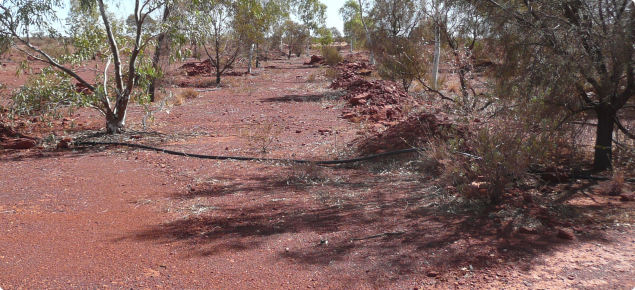 Trees grown for a carbon sequestration project undertaken in arid lands near Leonora