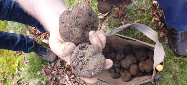 Hand holding two freshly harvested truffles above a bag of truffles