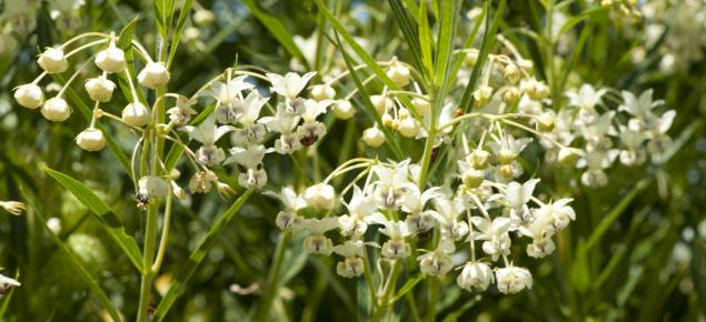 Cotton bush flowers