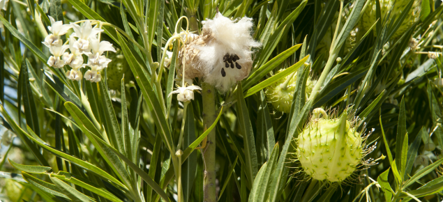 Cotton bush, left to right flowers, open pod with cotton and seeds and pod