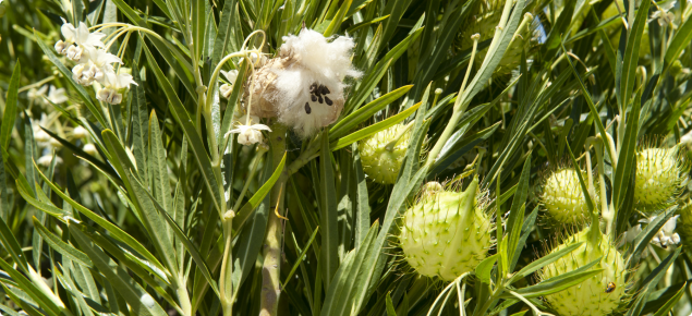 Narrow-leaf cotton bush (Gomphocarpus fruticosus) flower and seed pods