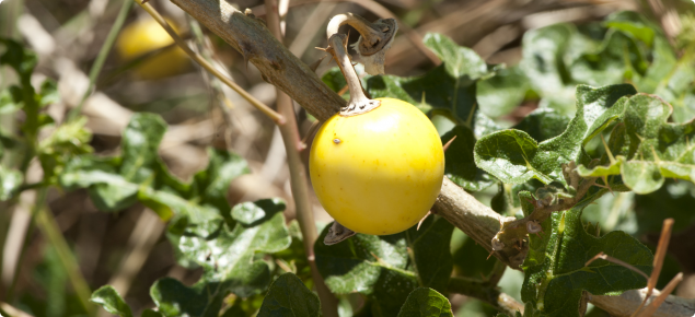 Apple of Sodom, mature fruit yellow in colour