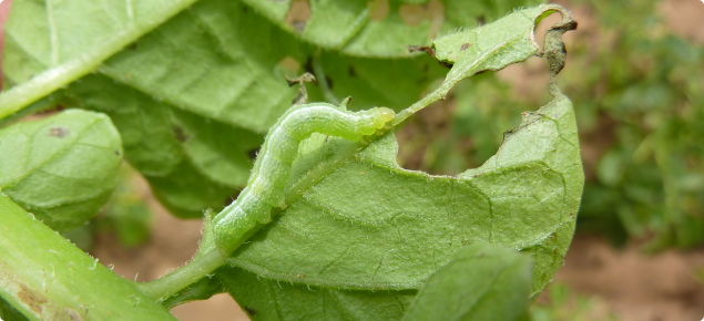 Looper larvae can defoliate potato crops resulting in reduced tuber size and yield