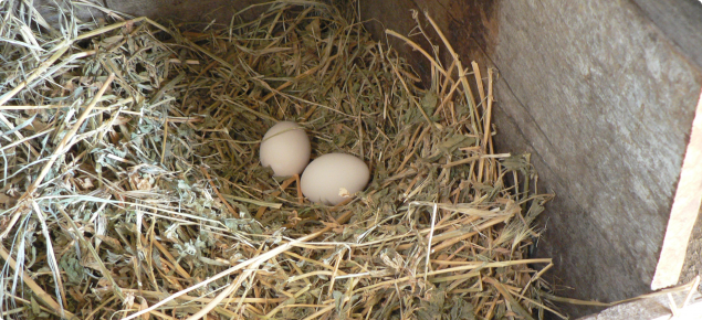 Eggs in a wooden box nest cushioned with hay.
