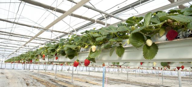 Hydroponic strawberry crop