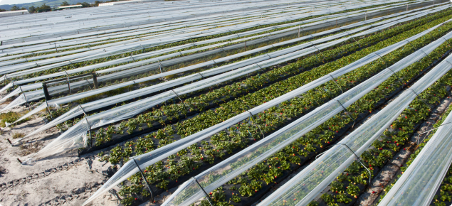 Strawberry production under cloches