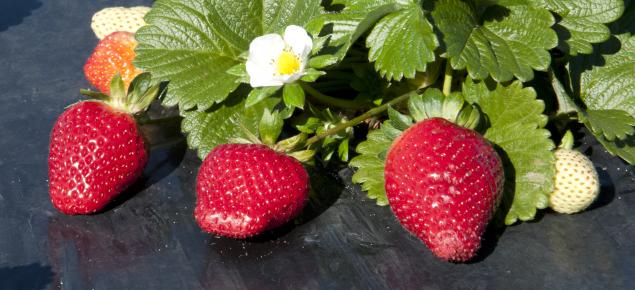 Strawberries ripe for harvesting