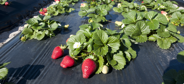 Strawberries growing on plastic