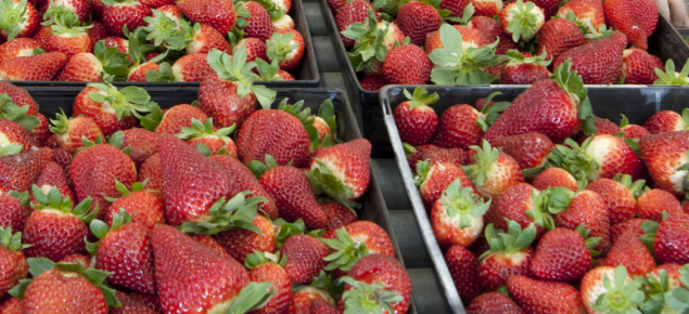 Packing strawberries