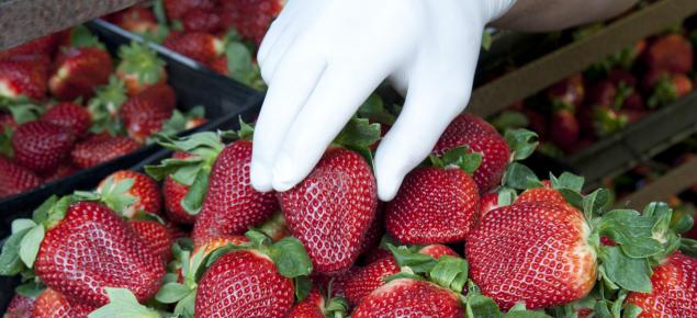 Gloved hand handling punnet of strawberries