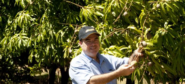 Inspecting mango fruit at Kununurra