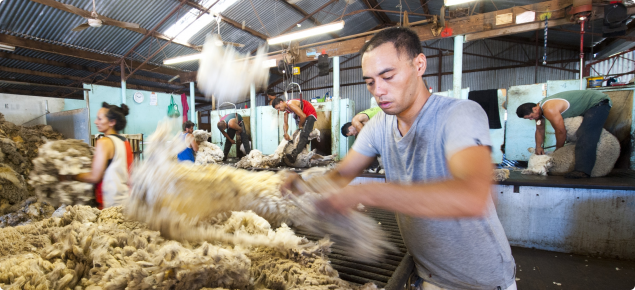 Picture of sheep being sheared in a shed