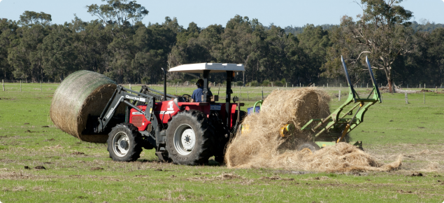 Small landholder speading hay to feed their cattle