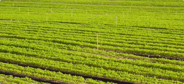 Healthy green carrot crop growing in a paddock