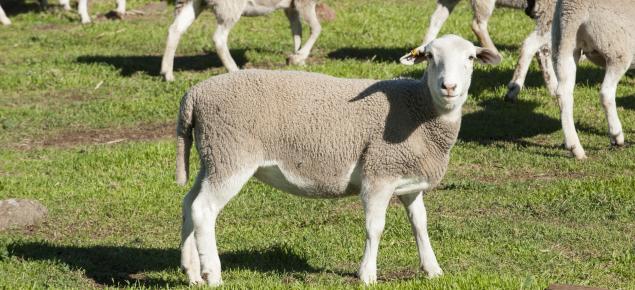 Yellow tagged Dorper ewe in a paddock