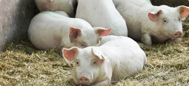 NLIS to be introduced for pigs