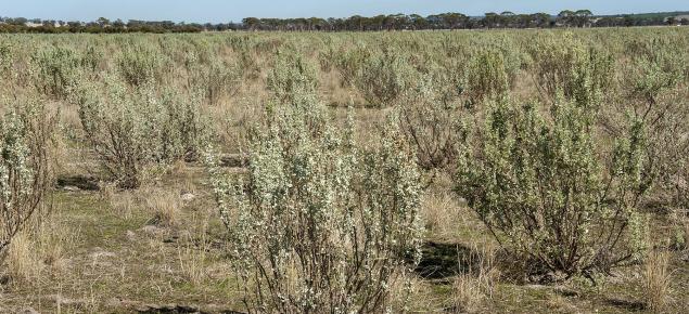 Photograph of a saltbush pasture near Yealering, Western Australia