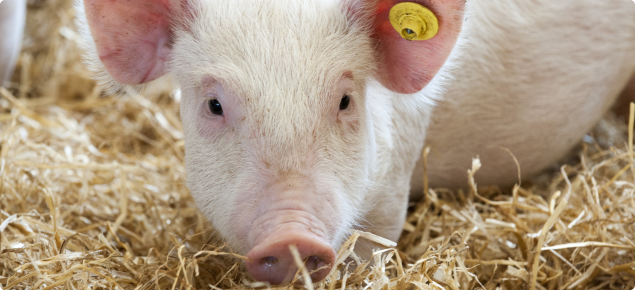 Pigs can be affected by anthrax