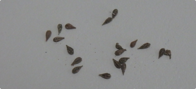 Tar vine seeds are about 3 mm long
