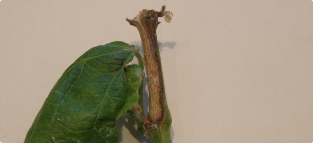 Sclerotinia shoot rot infection of a grape vine showing as a pale brown lesion at the base of a shoot or a node