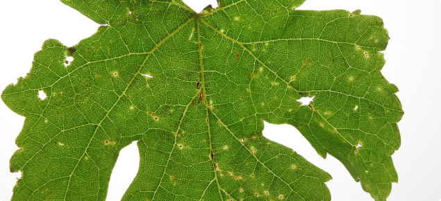 Grape leaf infected with Phomopsis viticola showing the characteristic yellow halos surrounding black spots