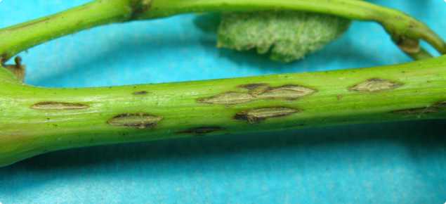 Grape stem infected with Phomopsis viticola showing the small spots which enlarge as the shoot grows