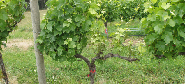 Grape vine arm infected with Eutypa lata showing stunted shoot growth