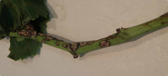 Small circular lesions with grey-white centres on a grape stem