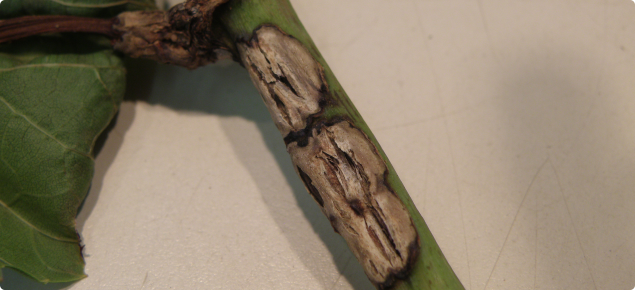 Grape stem showing older lesions which have developed a flaky appearance