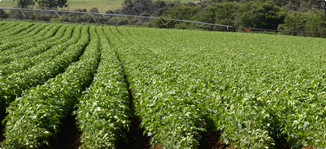 Potato crop growing in a paddock