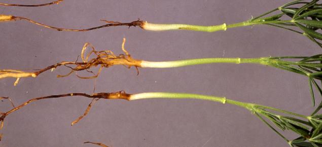 Pleiochaeta root rot affected seedlings