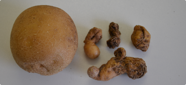 Healthy Atlantic potato on left compared with shrivelled remnants attacked by viroid