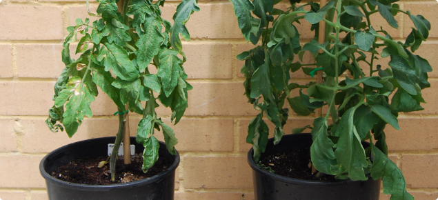 Infected tomato plant on left compared with healthy plant on right. Plant is much smaller.