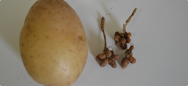 Healthy Nadine potato on left compared with shrivelled remnant attacked by viroid