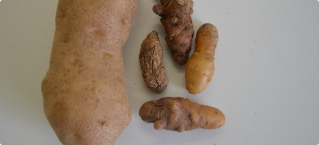 Healthy Russet burbank potato on left compared with shrivelled remnants attacked by viroid