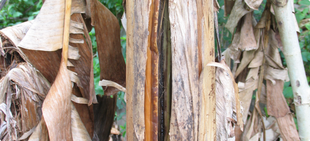 A banana plant stem showing splitting of the pseudostem associated with Panama disease infection.