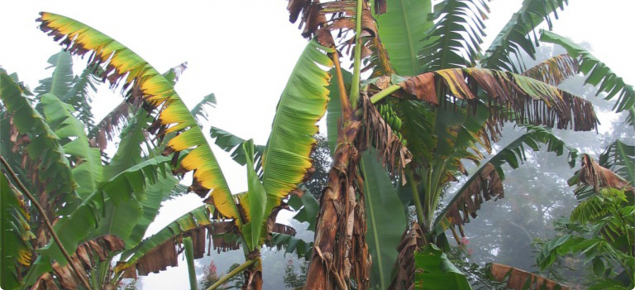 Banana plants with yellowing and dead leaves, a symptom of Panama disease.