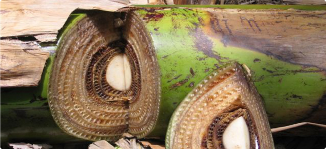 A banana plant stem with a section cut out showing rings of discoloured tissue, a symptom of Panama disease.