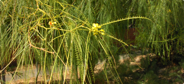 Parkinsonia branch with leaves and flowers