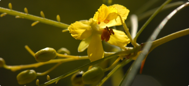 Bright yellow Parkinsonia flower