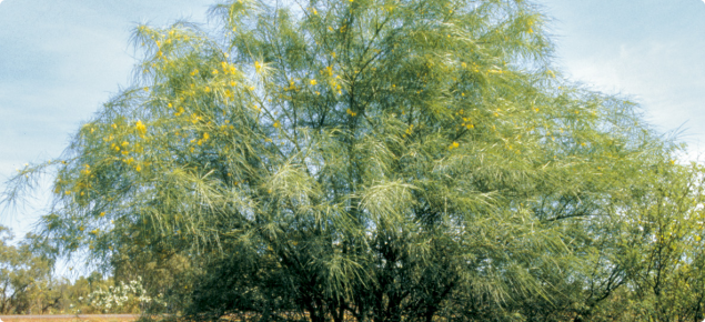 Parkinsonia is a large shrub or small tree