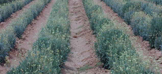 Parthenium argentatum (guayle)