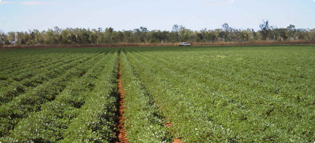 A crop of peanuts in northern WA. Peanuts was one of the crops investigated in the Economic Analysis of Irrigated Agriculture Development Options for the Pilbara report