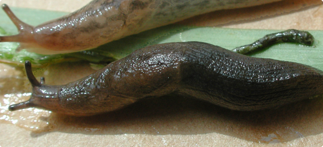 Black keeled slug (bottom) and reticulated slug (top)